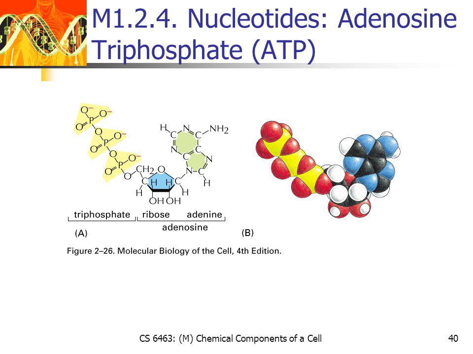 CS 6463: (M) Chemical Components of a Cell40 M1.2.4. Nucleotides: Adenosine Triphosphate (ATP)
