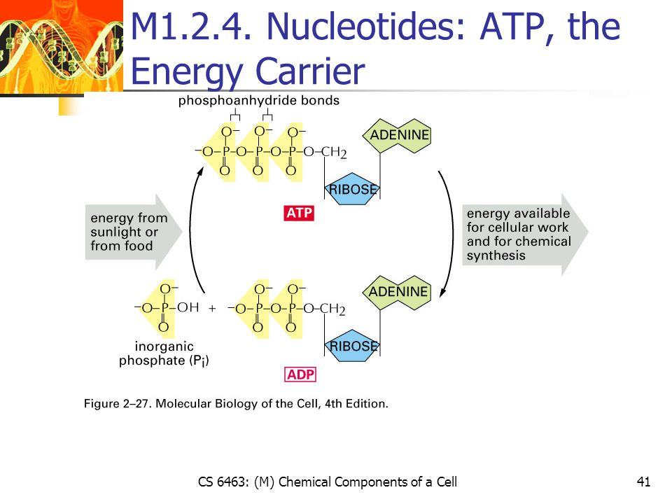 CS 6463: (M) Chemical Components of a Cell41 M1.2.4. Nucleotides: ATP, the Energy Carrier