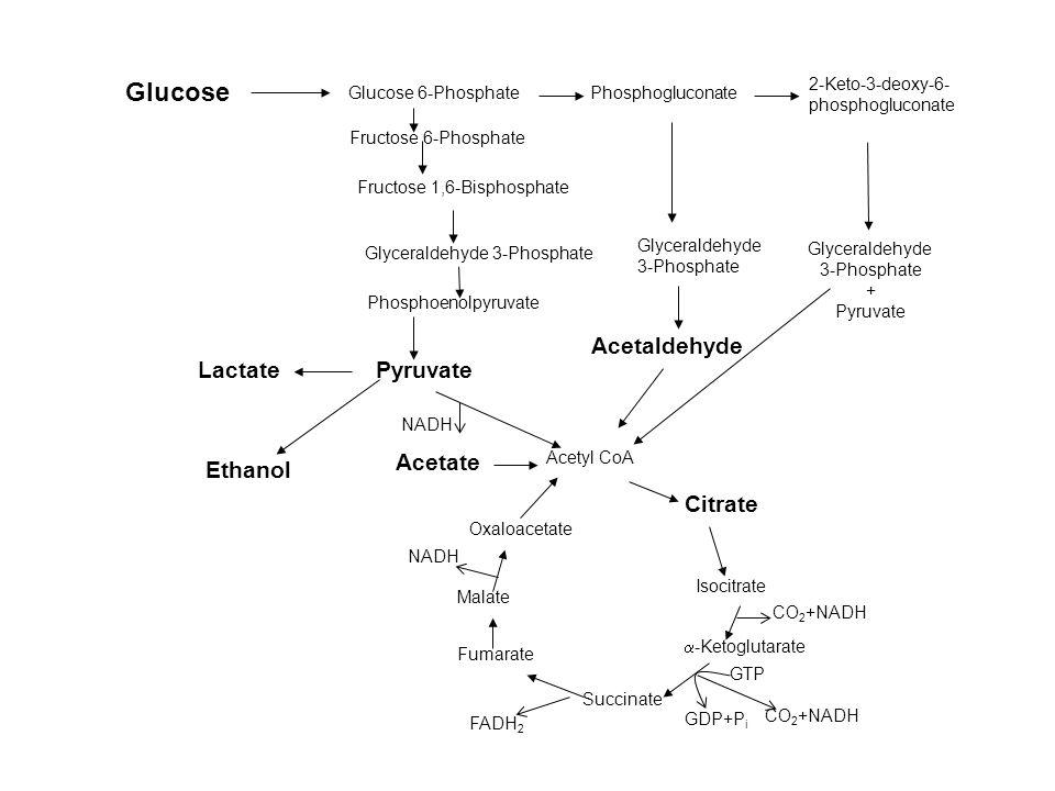 Glucose Glucose 6-Phosphate Fructose 6-Phosphate Fructose 1,6-Bisphosphate Glyceraldehyde 3-Phosphate Pyruvate Acetate Acetyl CoA Citrate  -Ketoglutarate Succinate Fumarate Oxaloacetate Phosphogluconate Glyceraldehyde 3-Phosphate Acetaldehyde 2-Keto-3-deoxy-6- phosphogluconate Glyceraldehyde 3-Phosphate + Pyruvate Lactate Ethanol Malate Isocitrate CO 2 +NADH FADH 2 CO 2 +NADH NADH GTP GDP+P i Phosphoenolpyruvate