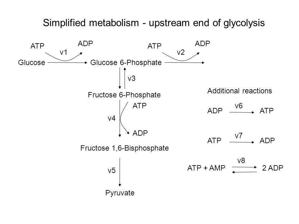 GlucoseGlucose 6-Phosphate Fructose 6-Phosphate Fructose 1,6-Bisphosphate Pyruvate Simplified metabolism - upstream end of glycolysis ATP ADP v1 ATP ADP v2 v3 ATP ADP v4 v5 ATPADP v6 ADPATP v7 2 ADPATP + AMP v8 Additional reactions