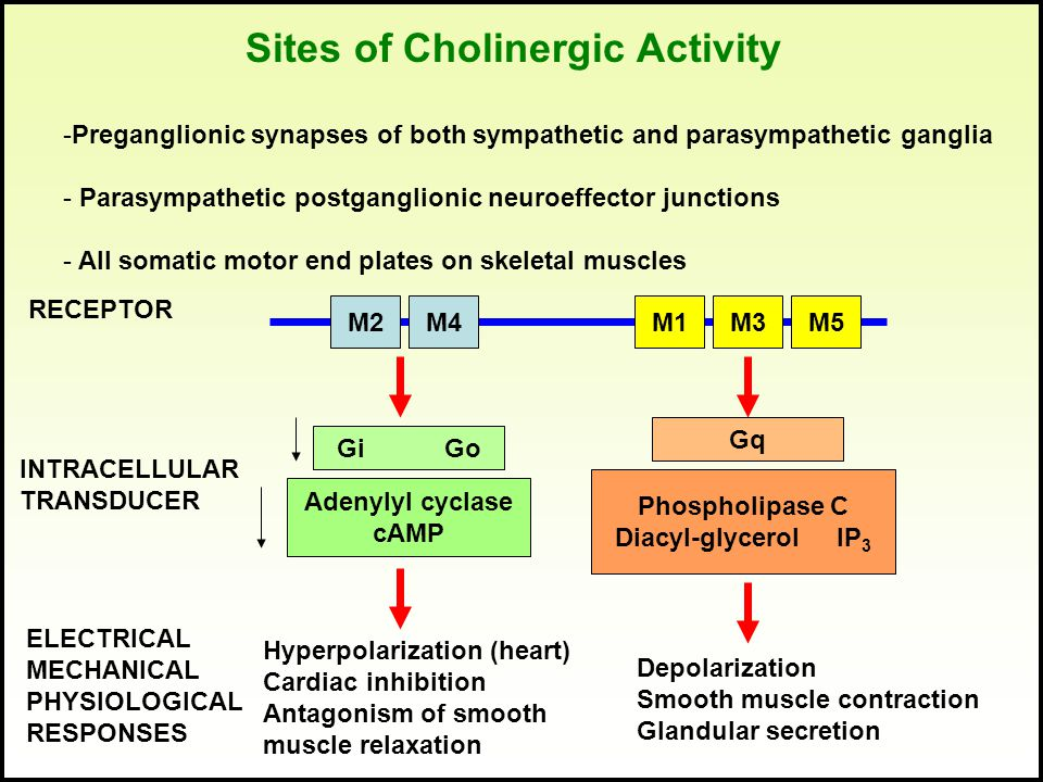 Sites of Cholinergic Activity -Preganglionic synapses of both sympathetic and parasympathetic ganglia - Parasympathetic postganglionic neuroeffector j