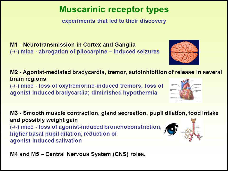 Muscarinic receptor types experiments that led to their discovery M1 - Neurotransmission in Cortex and Ganglia (-/-) mice - abrogation of pilocarpine – induced seizures M2 - Agonist-mediated bradycardia, tremor, autoinhibition of release in several brain regions (-/-) mice - loss of oxytremorine-induced tremors; loss of agonist-induced bradycardia; diminished hypothermia M3 - Smooth muscle contraction, gland secreation, pupil dilation, food intake and possibly weight gain (-/-) mice - loss of agonist-induced bronchoconstriction, higher basal pupil dilation, reduction of agonist-induced salivation M4 and M5 – Central Nervous System (CNS) roles.
