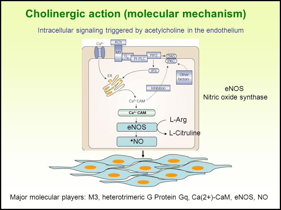 Intracellular signaling triggered by acetylcholine in the endothelium eNOS ● NO L-Arg L-Citruline Major molecular players: M3, heterotrimeric G Protei