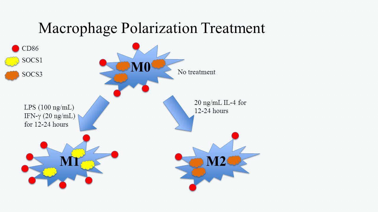 Macrophage Polarization Treatment M0 No treatment LPS (100 ng/mL) IFN-γ (20 ng/mL) for 12-24 hours M1M2 CD86 SOCS1 SOCS3 20 ng/mL IL-4 for 12-24 hours