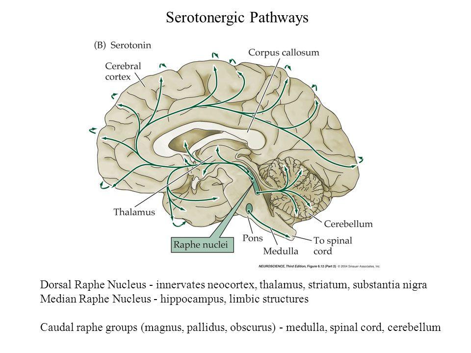 Serotonergic Pathways Dorsal Raphe Nucleus - innervates neocortex, thalamus, striatum, substantia nigra Median Raphe Nucleus - hippocampus, limbic str