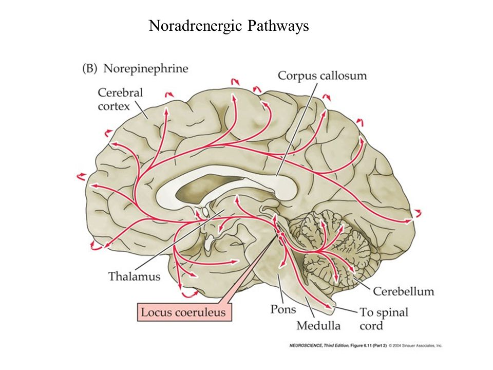 Noradrenergic Pathways