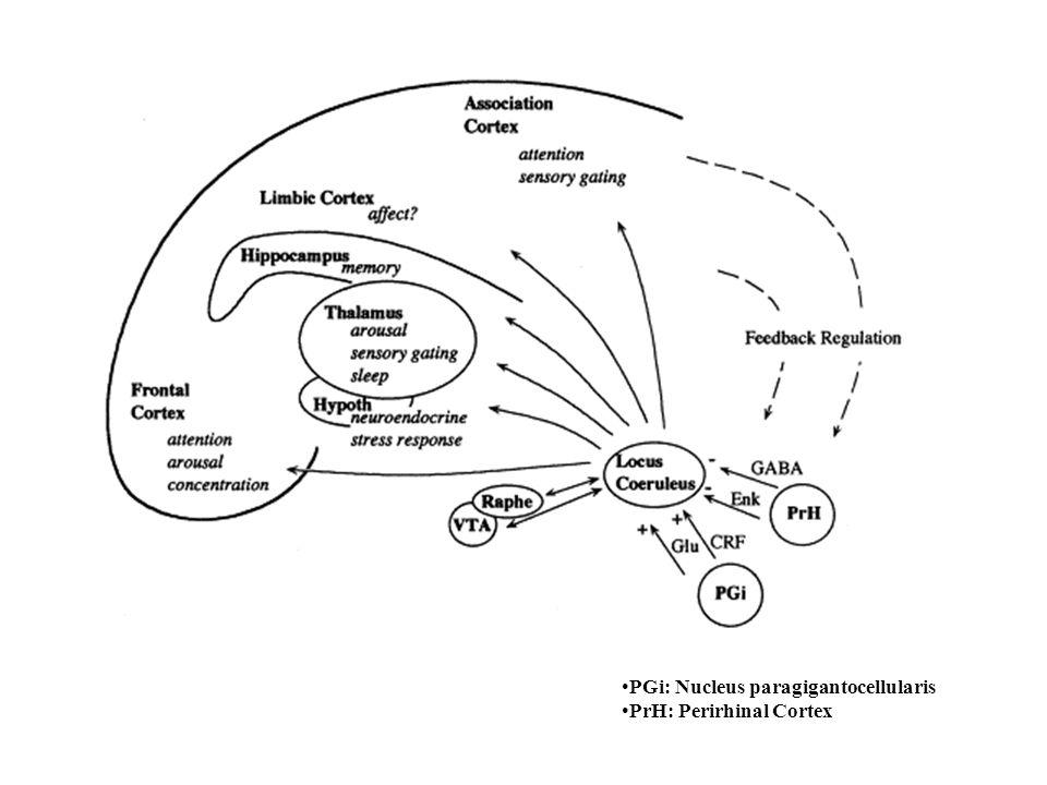 PGi: Nucleus paragigantocellularis PrH: Perirhinal Cortex