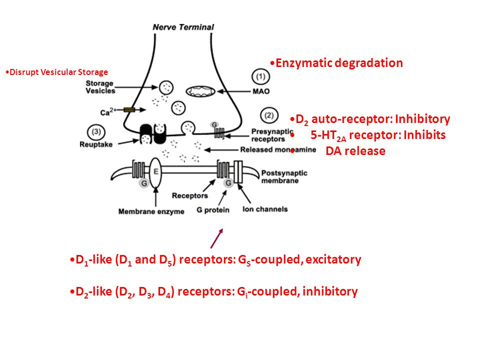 D 2 auto-receptor: Inhibitory 5-HT 2A receptor: Inhibits DA release Enzymatic degradation D 1 -like (D 1 and D 5 ) receptors: G S -coupled, excitatory D 2 -like (D 2, D 3, D 4 ) receptors: G i -coupled, inhibitory Disrupt Vesicular Storage