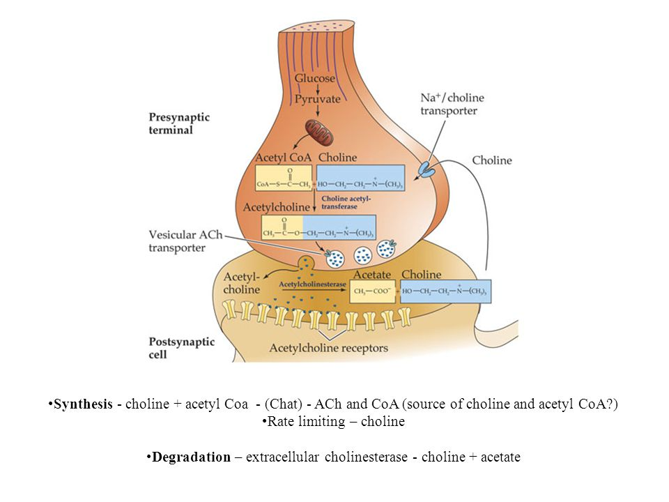 Synthesis - choline + acetyl Coa - (Chat) - ACh and CoA (source of choline and acetyl CoA ) Rate limiting – choline Degradation – extracellular cholinesterase - choline + acetate