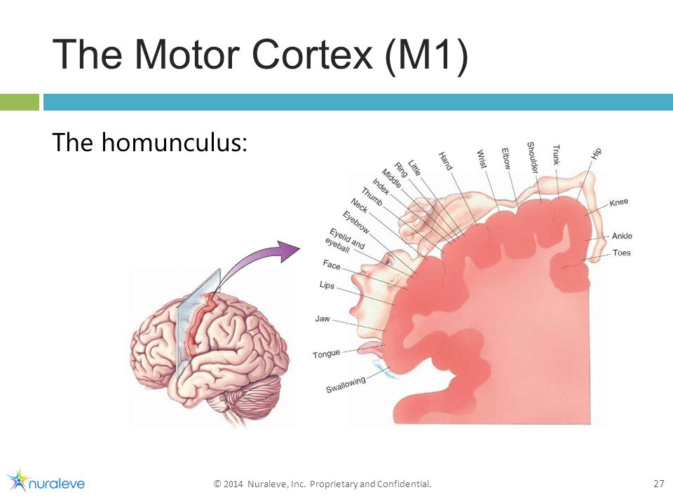 The Motor Cortex (M1) The homunculus: 27 © 2014 Nuraleve, Inc. Proprietary and Confidential.