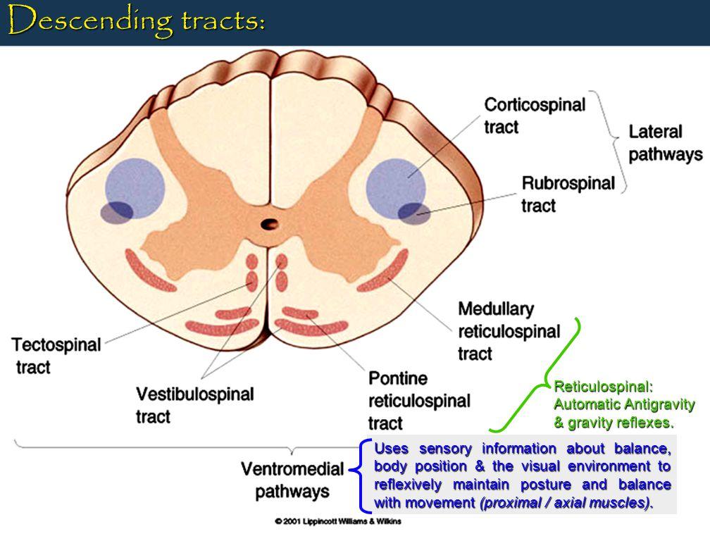 Ventral median fissure Posterior median sulcus