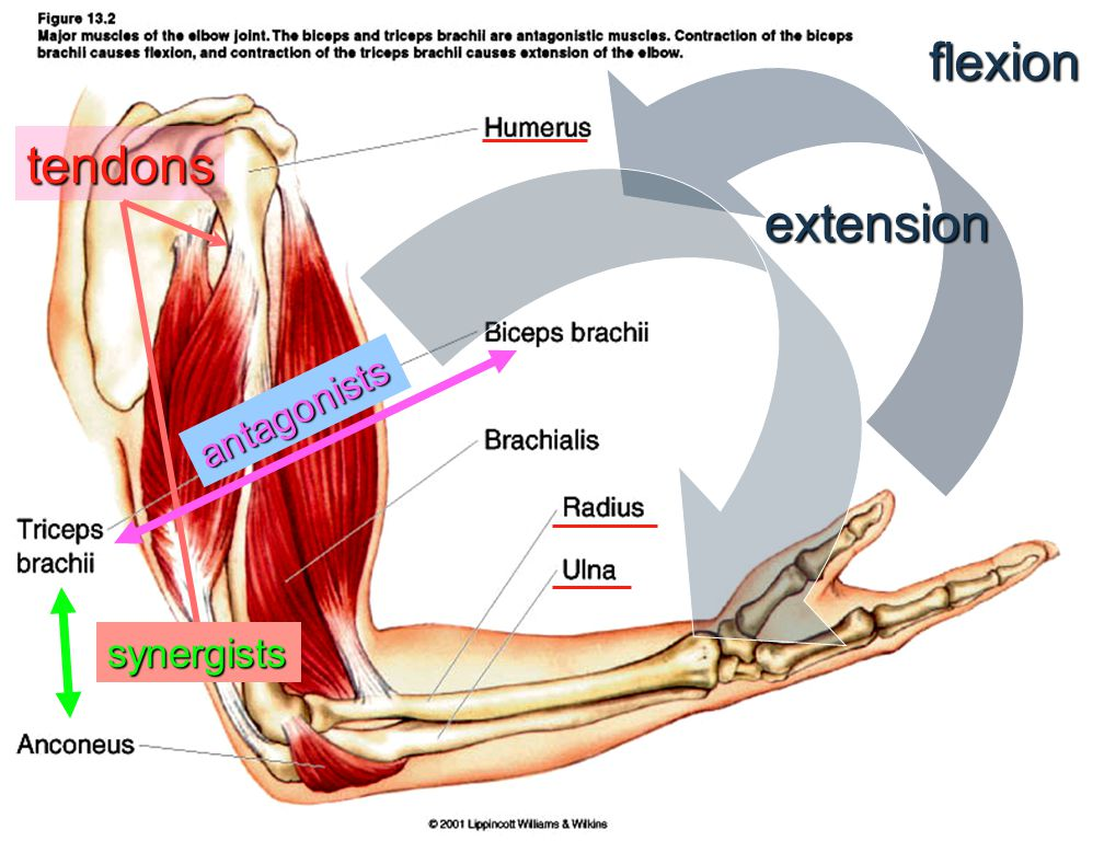 proximal Fibers control flexors- striate muscles that pull limbs around a joint together (closing the knife). Fibers control extensors- striate muscle