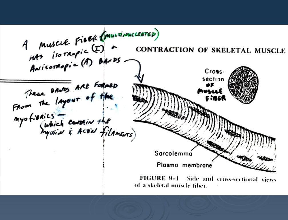myofibril myofibril myofibril Sarcoplasmic reticulum myofibril myofibril myofibril myofibril