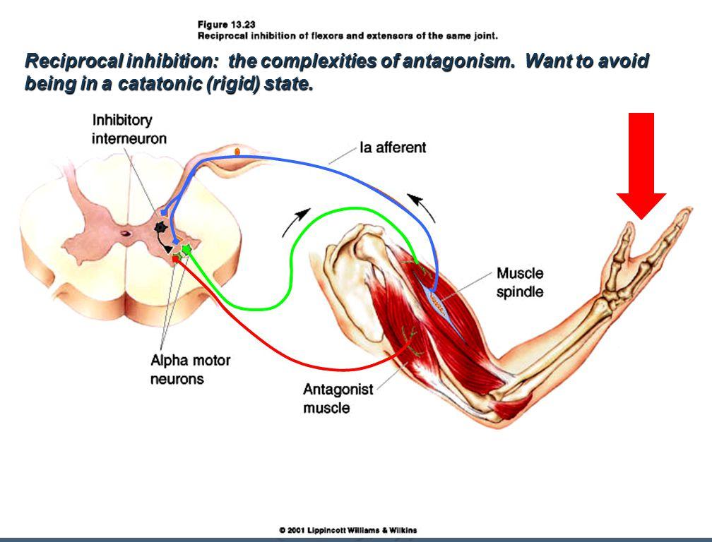 Pain reflex is polysynaptic. Synergistic flexion- Note: intersegmental reflex.