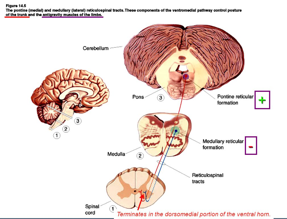 Descending tracts: reticulospinal tracts lateral medial Activates or inhibits antigravity muscles.