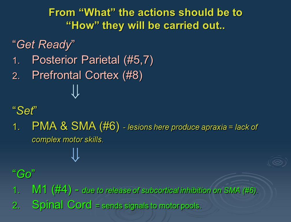 Psychomotor Cortex A lot of this through subcortical basal ganglia (i.e., lenticular to thalamus to #6)