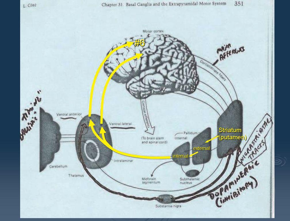 Receives input from globus pallidus lenticular Internal capsule