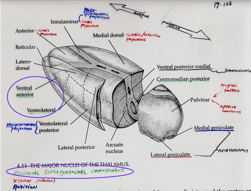 Nigrastriatal tracts VLo (proximal muscles) #6
