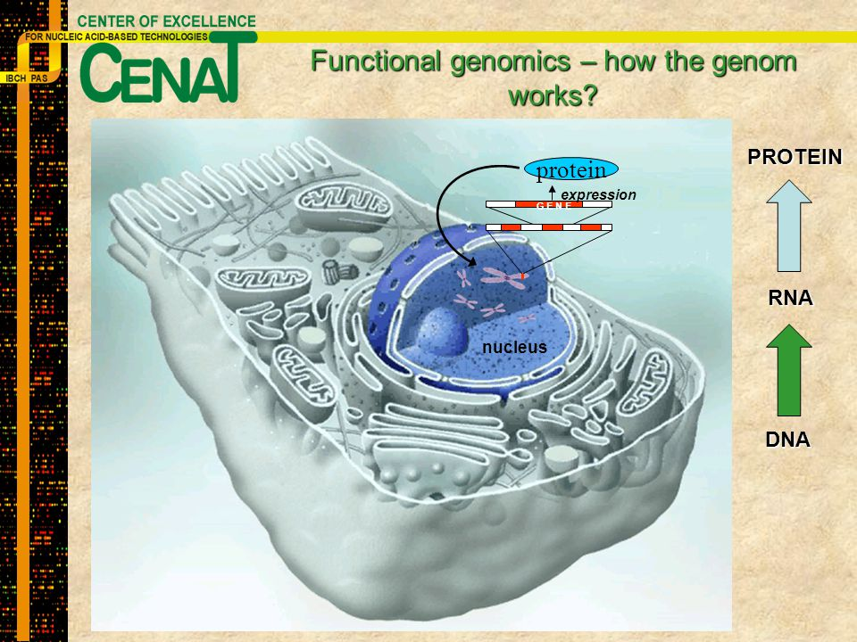 Functional genomics – how the genom works? G E N E expression nucleus protein PROTEIN RNA DNA