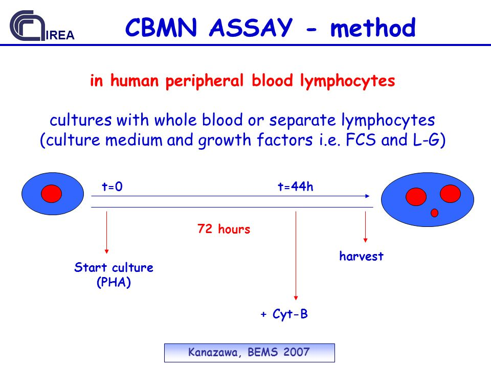 CBMN ASSAY - method 72 hours t=0t=44h Start culture (PHA) + Cyt-B harvest in human peripheral blood lymphocytes cultures with whole blood or separate lymphocytes (culture medium and growth factors i.e.