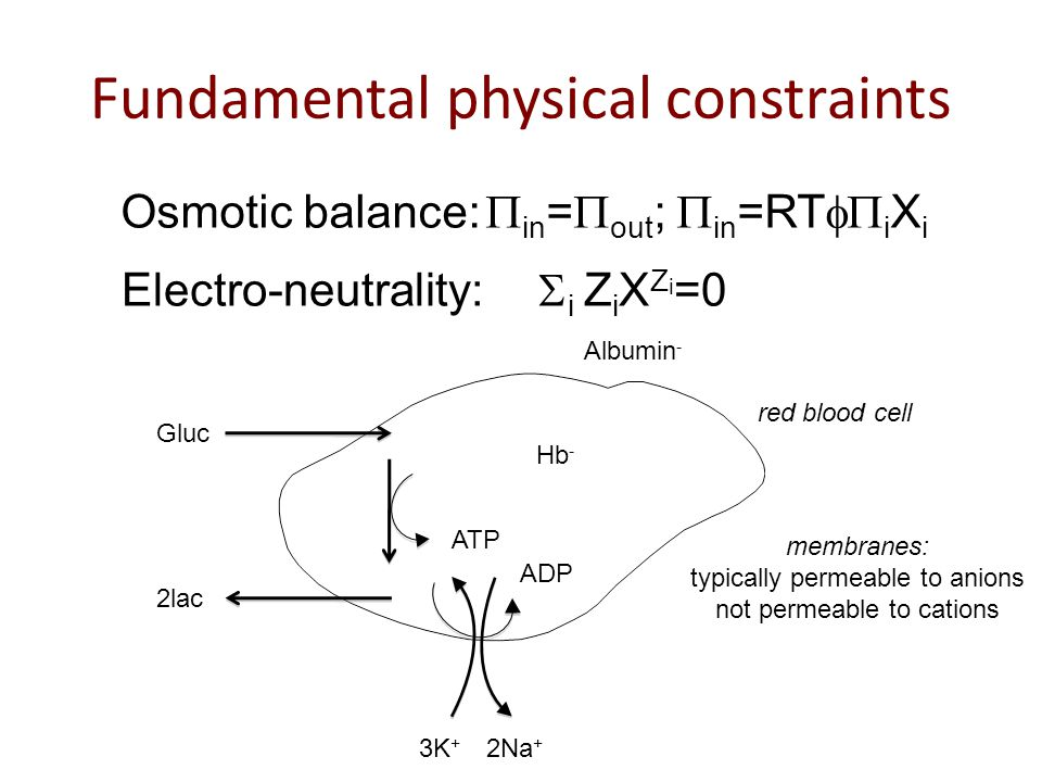 Osmotic balance:  in =  out ;  in =RT  i X i Electro-neutrality:  i  Z i X Z i =0 Fundamental physical constraints Gluc 2lac ATP ADP 3K + 2Na + Hb - Albumin - membranes: typically permeable to anions not permeable to cations red blood cell