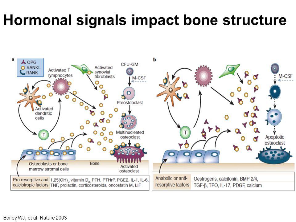 Hormonal signals impact bone structure Boiley WJ, et al. Nature 2003