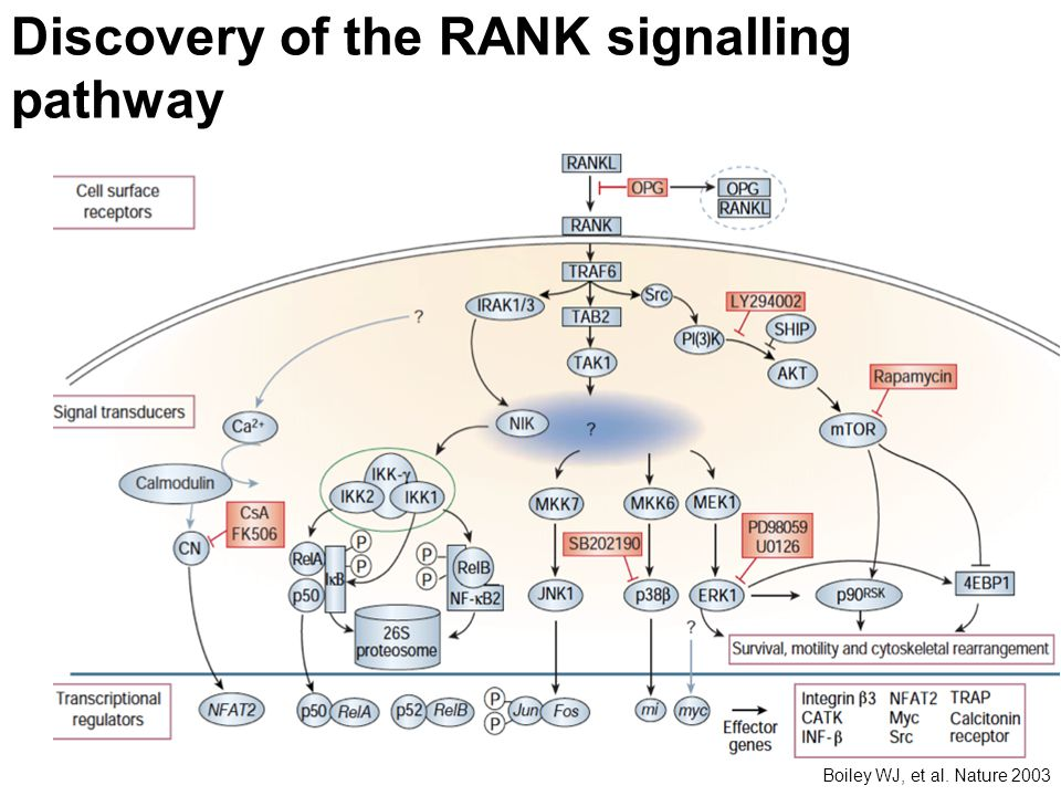 Discovery of the RANK signalling pathway Boiley WJ, et al. Nature 2003