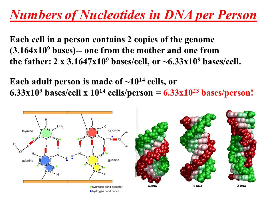 Numbers of Nucleotides in DNA per Person Each cell in a person contains 2 copies of the genome (3.164x10 9 bases)-- one from the mother and one from the father: 2 x 3.1647x10 9 bases/cell, or ~6.33x10 9 bases/cell.