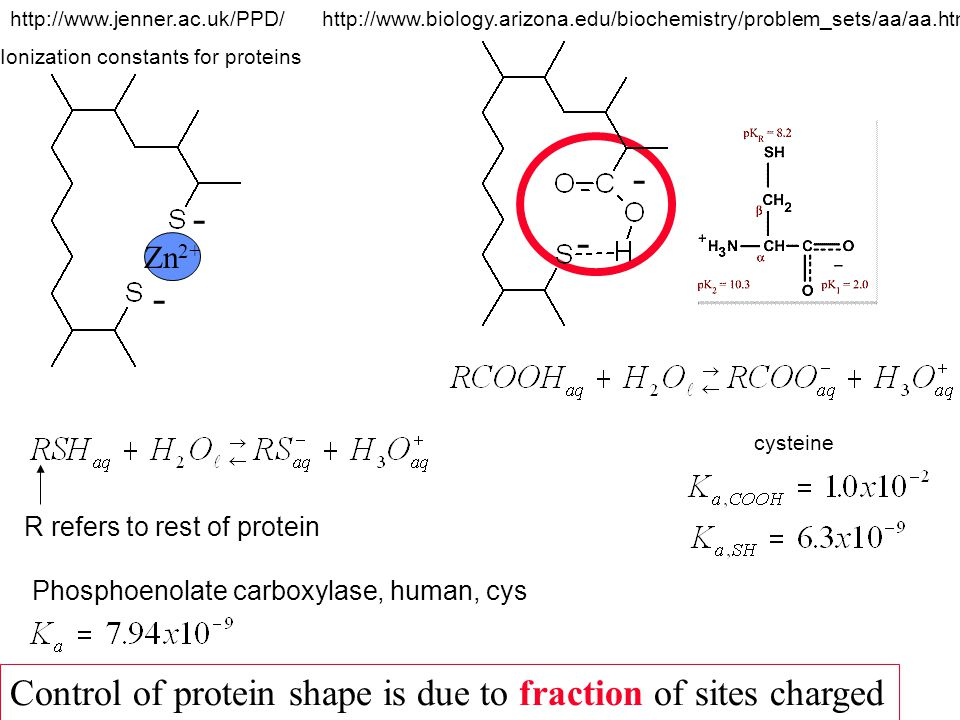 Zn 2+ - - - - Control of protein shape is due to fraction of sites charged R refers to rest of protein http://www.jenner.ac.uk/PPD/ Ionization constants for proteins Phosphoenolate carboxylase, human, cys cysteine http://www.biology.arizona.edu/biochemistry/problem_sets/aa/aa.html