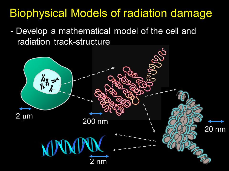 2  m 200 nm 20 nm 2 nm Biophysical Models of radiation damage - Develop a mathematical model of the cell and radiation track-structure