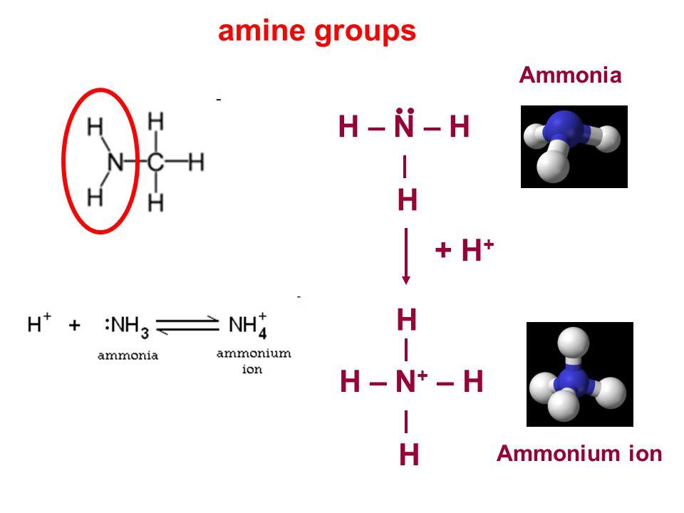 amine groups H – N – H H Ammonia + H + H – N + – H H H Ammonium ion