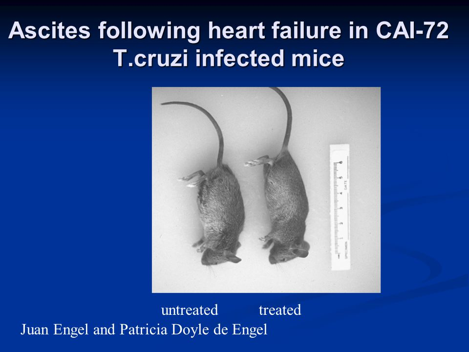 Ascites following heart failure in CAI-72 T.cruzi infected mice untreatedtreated Juan Engel and Patricia Doyle de Engel