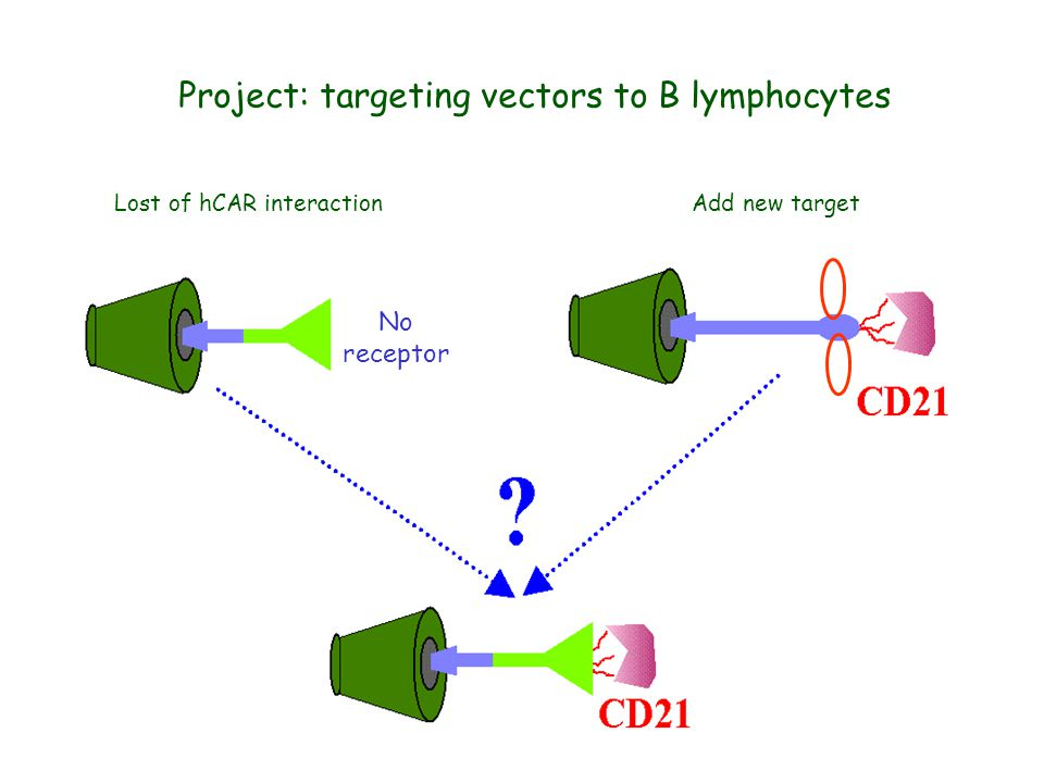 Project: targeting vectors to B lymphocytes No receptor Lost of hCAR interactionAdd new target