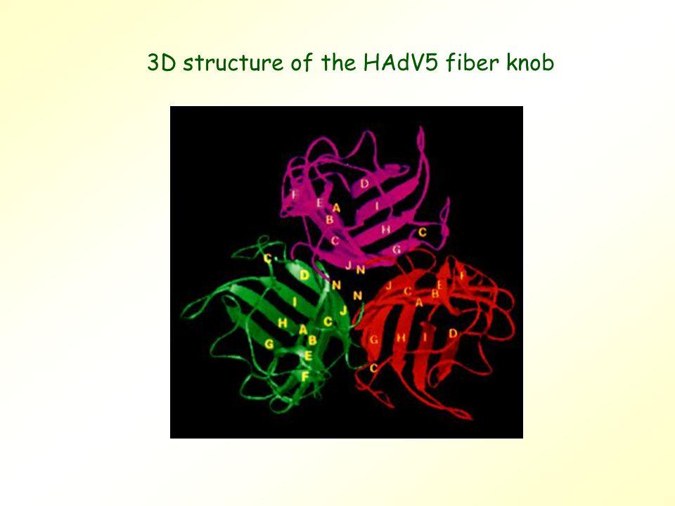3D structure of the HAdV5 fiber knob
