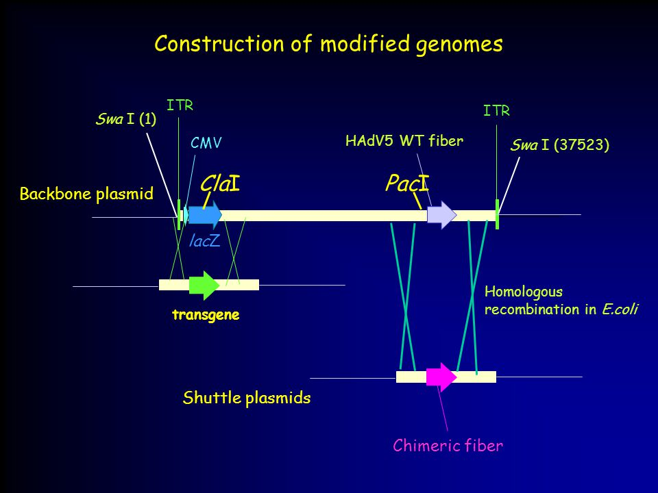 Construction of modified genomes Homologous recombination in E.coli Swa I (1) HAdV5 WT fiber ITR Swa I (37523) CMV ITR lacZ Chimeric fiber Backbone plasmid Shuttle plasmids transgene ClaIPacI