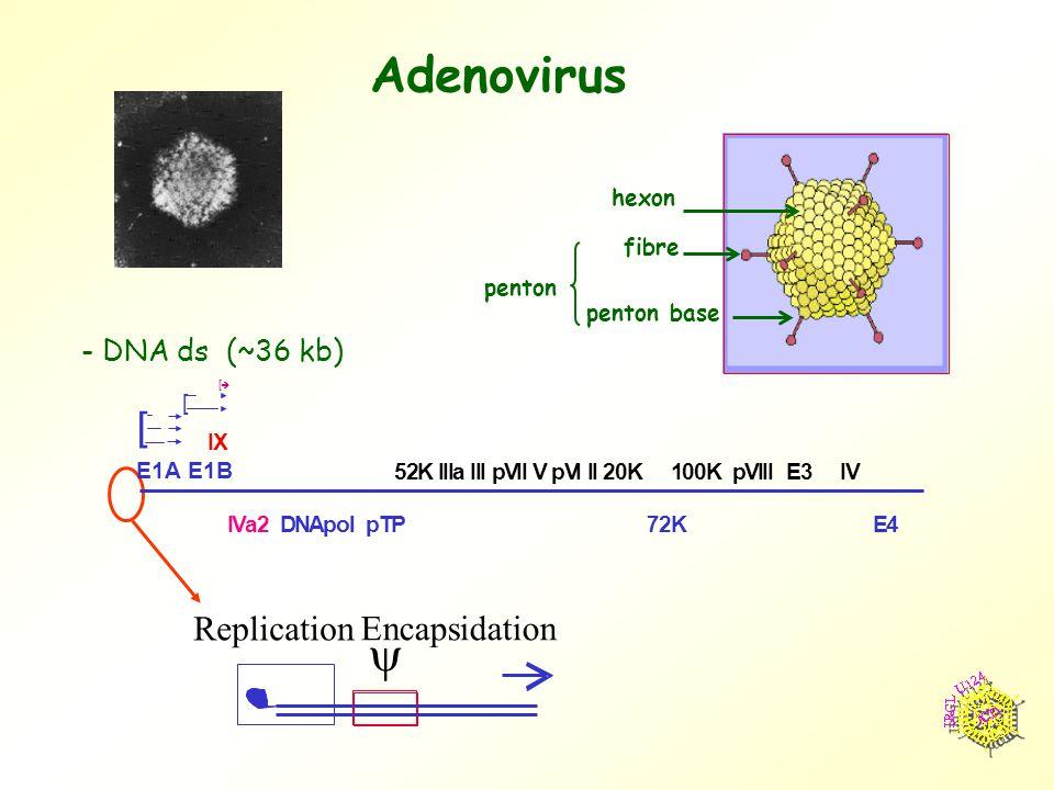Adenovirus  Replication Encapsidation - DNA ds (~36 kb) hexon penton penton base fibre