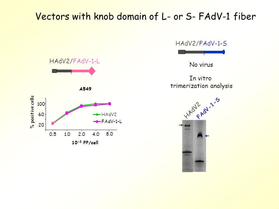 Vectors with knob domain of L- or S- FAdV-1 fiber In vitro trimerization analysis A549 20 60 100 0.51.02.04.0 8.0 10 -3 PP/cell HAdV2 FAdV-1-L % positive cells HAdV2/FAdV-1-S HAdV2/FAdV-1-L No virus HAdV2 FAdV-1-S