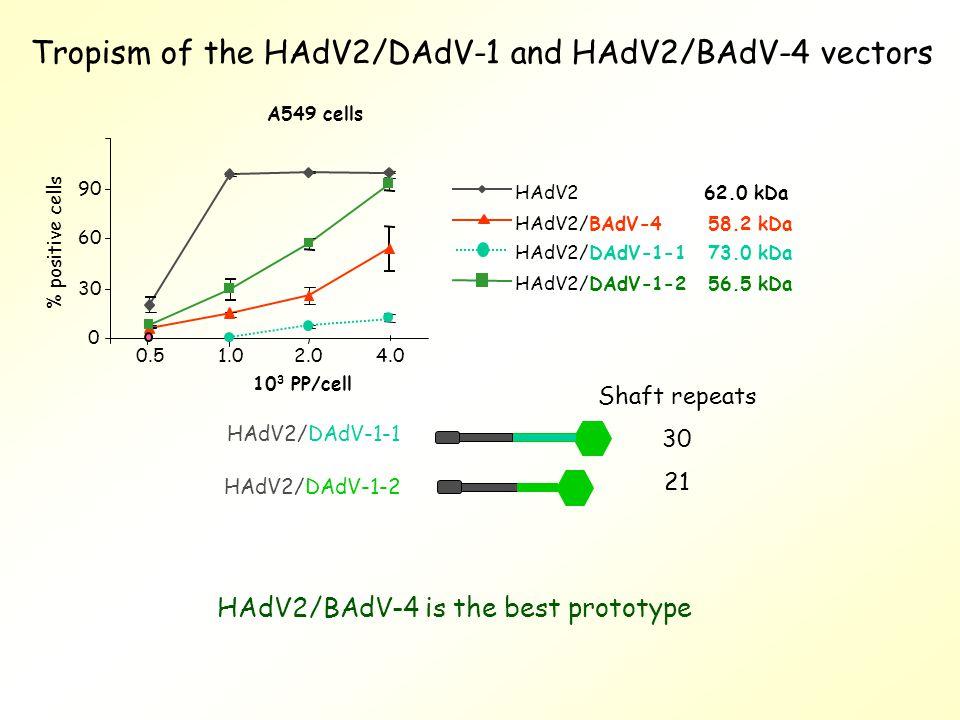 Tropism of the HAdV2/DAdV-1 and HAdV2/BAdV-4 vectors HAdV2/DAdV-1-2 HAdV2/DAdV-1-1 Shaft repeats 30 21 HAdV2/BAdV-4 is the best prototype