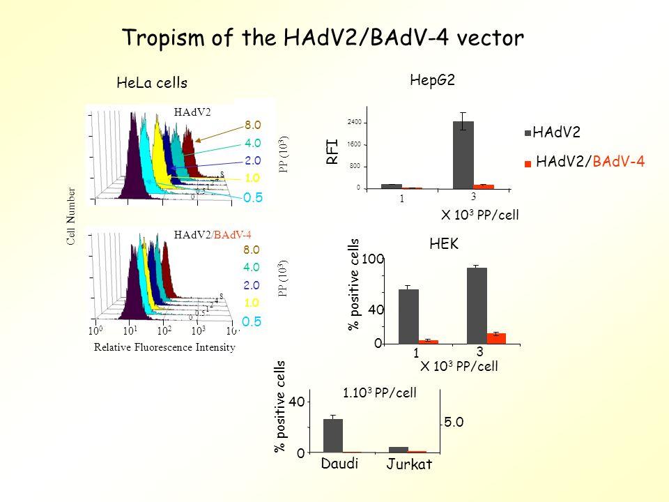 Tropism of the HAdV2/BAdV-4 vector HepG2 0 800 1600 2400 1 3 HAdV2 HAdV2/BAdV-4 RFI X 10 3 PP/cell 1 3 0 40 100 % positive cells HEK 0 40 % positive cells Daudi Jurkat 5.0 1.10 3 PP/cell 10 0 10 1 10 2 10 3 10 4 Relative Fluorescence Intensity Cell Number HAdV2 8 4 2 1 0.5 0 8 4 2 1 0 HeLa cells PP (10 3 ) 0.5 1.0 2.0 4.0 8.0 PP (10 3 ) 0.5 1.0 2.0 4.0 8.0 HAdV2/BAdV-4