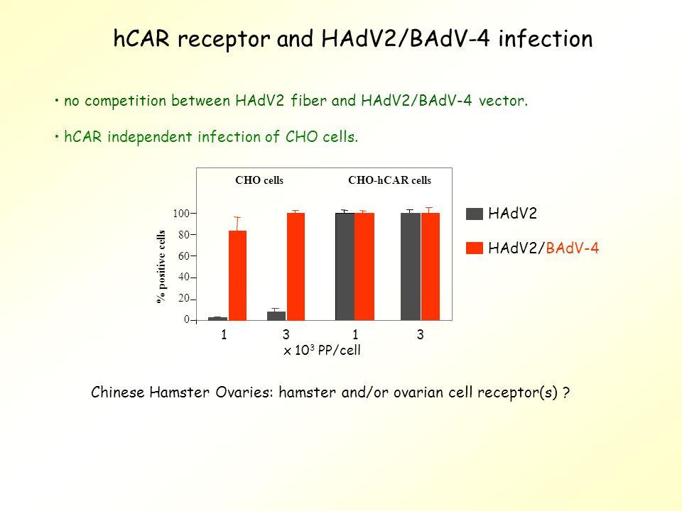 hCAR receptor and HAdV2/BAdV-4 infection no competition between HAdV2 fiber and HAdV2/BAdV-4 vector.