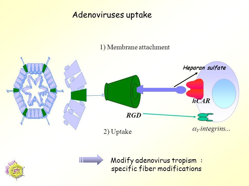 Adenoviruses uptake 1) Membrane attachment RGD hCAR  V integrins...