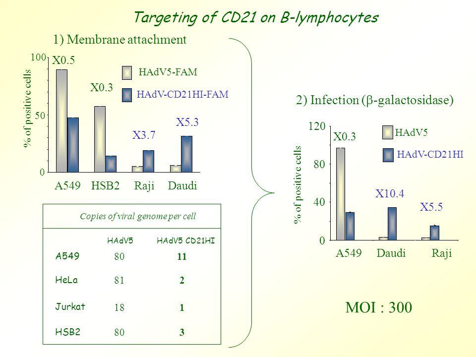 1) Membrane attachment X0.5 0 100 HAdV5-FAM HAdV-CD21HI-FAM A549HSB2RajiDaudi X5.3 X3.7 X0.3 % of positive cells 50 Targeting of CD21 on B-lymphocytes Copies of viral genome per cell A549 HeLa Jurkat HSB2 HAdV5HAdV5 CD21HI 8011 181 803 81 2 2) Infection (  -galactosidase) 0 40 80 120 A549DaudiRaji % of positive cells HAdV5 HAdV-CD21HI X5.5 X10.4 X0.3 MOI : 300
