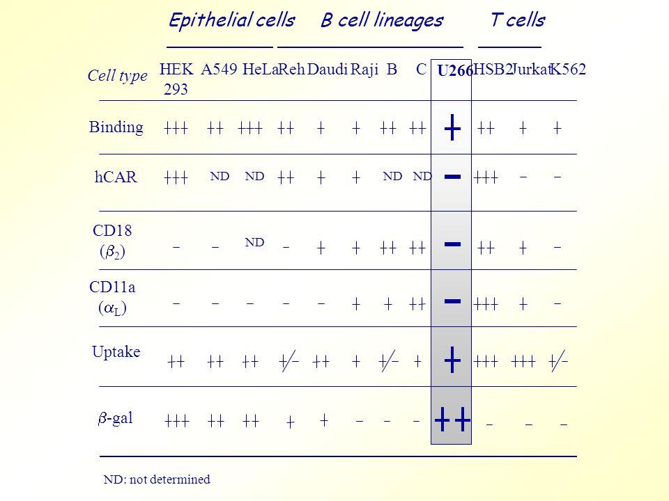 ND: not determined Cell type Binding hCAR CD18 (  2 ) CD11a (  L ) Uptake HEK 293 A549HeLaRehDaudiRajiBC U266 HSB2JurkatK562 ND Epithelial cellsB cell lineages T cells  -gal