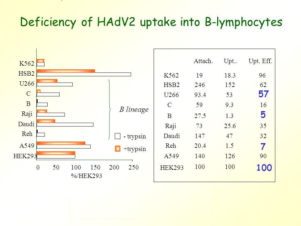 050100150200250 HEK293 A549 Reh Daudi Raji B C U266 HSB2 K562 %/HEK293 B lineage - trypsin +trypsin Attach.Upt..Upt.