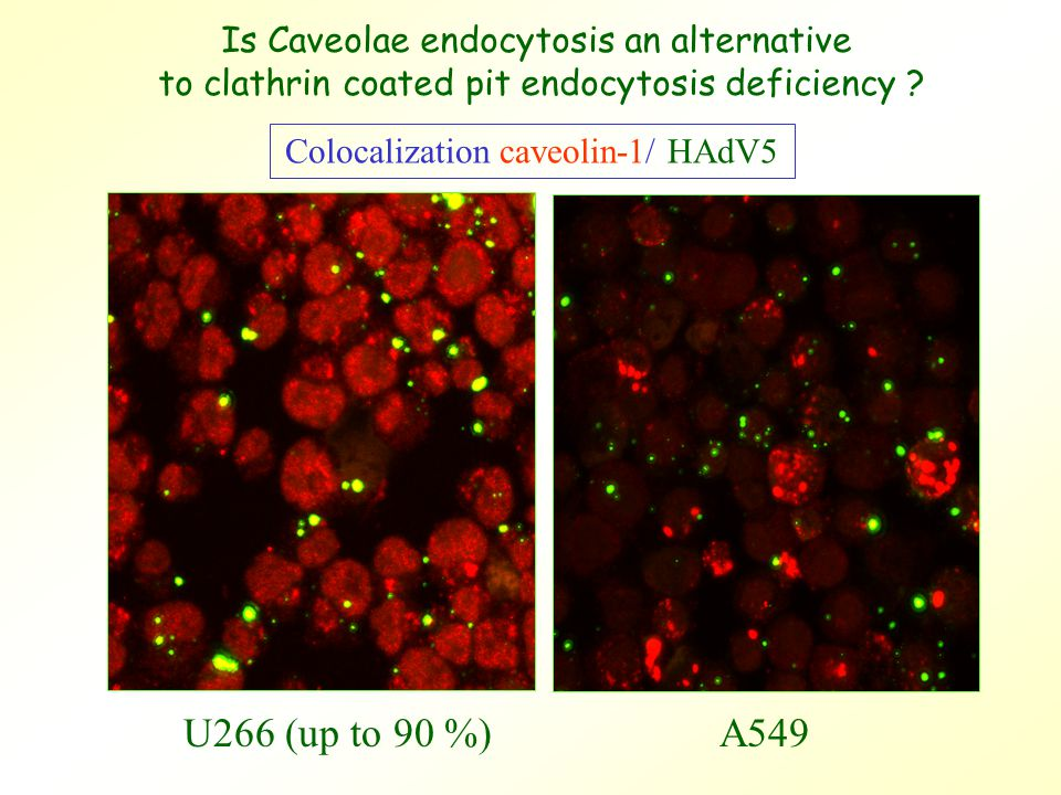 U266 (up to 90 %)A549 Colocalization caveolin-1/ HAdV5 Is Caveolae endocytosis an alternative to clathrin coated pit endocytosis deficiency ?