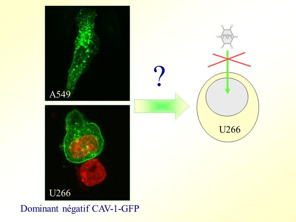 Dominant négatif CAV-1-GFP U266 A549 U266