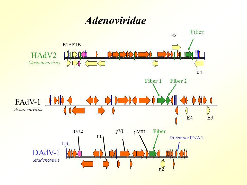 IVa2 IIIa pVI pVIII E4 ITR Precursor RNA 1 DAdV-1 Atadenovirus Fiber FAdV-1 Aviadenovirus Fiber 1Fiber 2 HAdV2 Mastadenovirus E3 Fiber E4 E1AE1B Adenoviridae E3E4