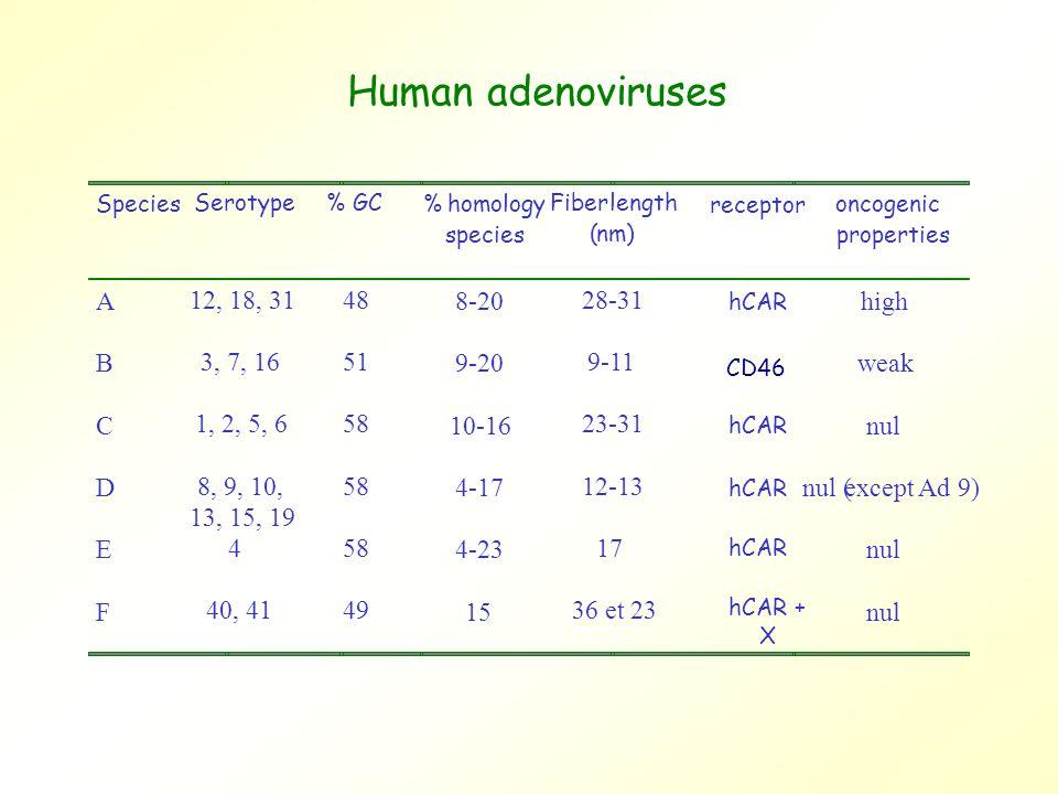 Species Serotype% GC %homology species Fiberlength (nm) oncogenic properties A 12, 18, 3148 8-20 28-31 high B 3, 7, 1651 9-20 9-11 weak C 1, 2, 5, 658 10-16 23-31 nul D 8, 9, 10, 13, 15, 19 58 4-17 12-13 nul (except Ad 9) E 458 4-23 17 nul F 40, 4149 15 36 et 23 nul Human adenoviruses receptor hCAR CD46 hCAR + X