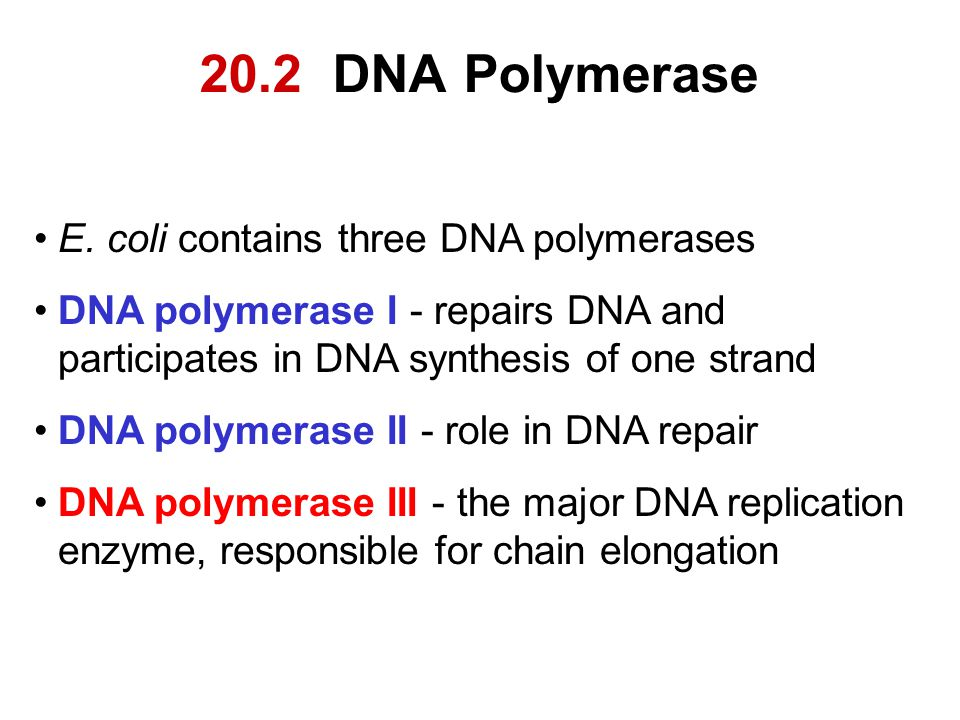 20.2 DNA Polymerase E. coli contains three DNA polymerases DNA polymerase I - repairs DNA and participates in DNA synthesis of one strand DNA polymera