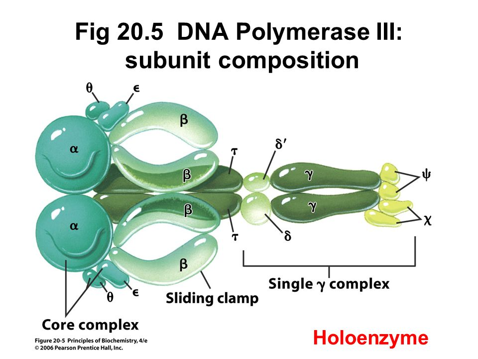 Fig 20.5 DNA Polymerase III: subunit composition Holoenzyme